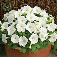compare prices on white with climbing flower online shopping buy