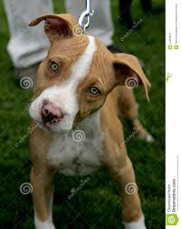 american pitbull terrier jumping red nose pitbull puppy stock photos image 27050813 american