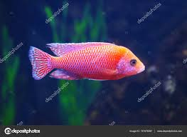 Freshwater Fish Exotic Freshwater Fish In Aquarium U2014 Stock Photo Belchonock