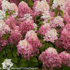 pink hydrangea light hydrangea plant addicts