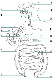 digestive system diagram fill in the blank periodic tables