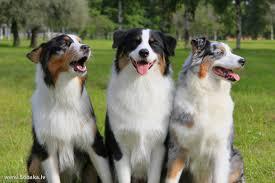 australian shepherd k 210 1018 1492 k avst jpg 2304 1536 australien shepherd dogs