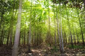 premium tissue cultured teak trees youtube