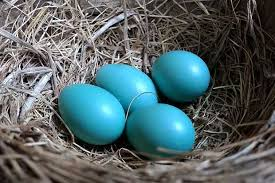 robin egg blue are robins eggs blue british bird lovers