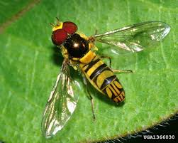 the beneficial hover fly u2013 how to use hover flies in gardens