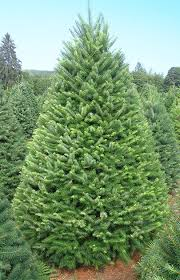 douglas fir tree christmas trees olympic christmas trees