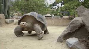 100 year old galapagos tortoise gets new gig at toledo zoo youtube