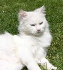 free picture white cat cute fur grass persian cat animal