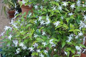 Most Fragrant Plants Growing Jasmine In The North Fading Beauty
