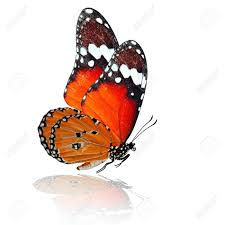 flying orange butterfly with shadow reflection on white
