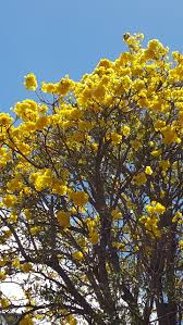foap yellow flowers in hawaii we don t trees that