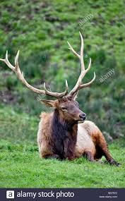 Oregon wildlife images Bull elk winston wildlife safari winston oregon stock photo jpg