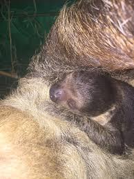 4 toed sloth sloth zooborns