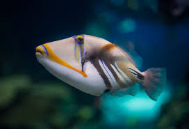 white banded triggerfish fishes permanent exhibition