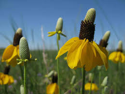 iowa native plant society native wildflowers amp up the color national wildlife refuge system