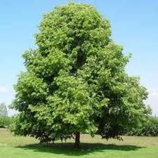 tilia cordata lime bareroot tree scotplants direct