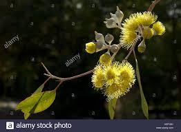 australis plants australian native plants native australian plants stock photos u0026 native australian plants