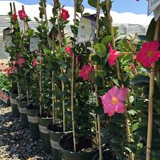 red riding hood mandevilla spectacular color from low growing