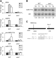 two direct targets of cytokinin signaling regulate symbiotic