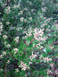 california native plant seeds california native hedges the smarter gardener