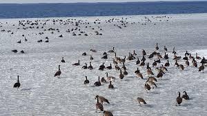 Waterfowl Migration Map Waterfowl Migration Audubon Pine Island Sanctuary U0026 Center