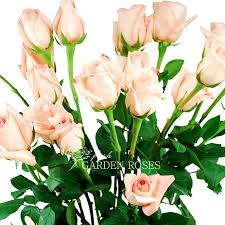 Wholesale Roses Wholesale Bicolor Cream Light Pink Roses Esperance Roses From