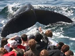 Whale Watches Cape Cod - provincetown whale watching bayside resort hotel west yarmouth ma