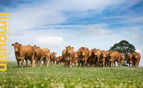 british limousin cattle society the british limousin cattle