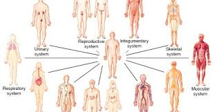 Human Anatomy And Body Systems Anatomy Systems Of The Human Body