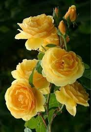the 25 best yellow roses ideas on pinterest roses rose tattoo