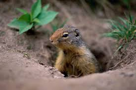 How To Hunt Squirrels In Your Backyard by How To Get Rid Of Burrowing Animals Hunker