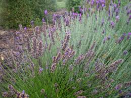 native plants in new zealand wanaka lavender farm u2013 herb society uk
