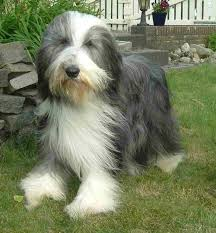 bearded collie brown bearded collie dog breed information puppies u0026 pictures