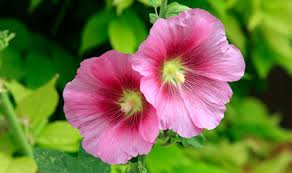 hollyhock flowers alan titchmarsh tips on growing hollyhocks garden style