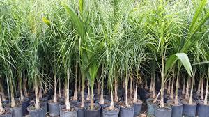 buy cold hardy palm trees windmill palm tree trachycarpus
