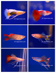 guppy fish fish farm for sale and export tropical fish exporter