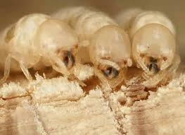 Winged Termites In Bathroom 47 Best Termites Images On Pinterest Pest Control Ants And Spiders