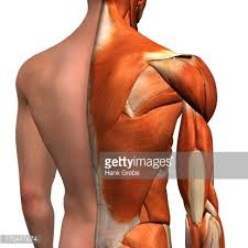 Anatomy Of Human Back Muscles Crosssection Anatomy Of Female Buttocks And Back Muscles Stock