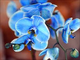 Blue Orchids Blue Orchid By Frankandcarystock On Deviantart