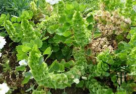 Bells Of Ireland Flower Air Purification Shellflower Moluccella Laevis Seeds 40pcs