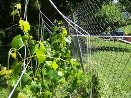 popular muscadine grape arbor plans ideas wood working