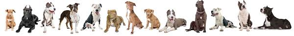 american pit bull terrier bully bully breed education