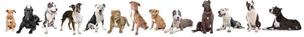 american pitbull terrier jumping bully breed education