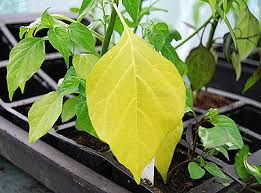 Green Chilli Plant Diseases - nutrient guide world of chillies