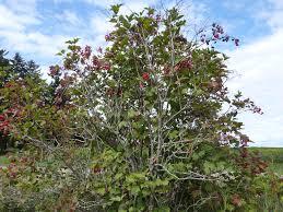 native minnesota plants the university of maine cooperative extension cranberries