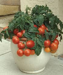 patio princess hybrid cherry tomato seeds and plants vegetable