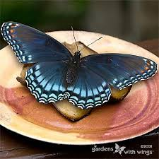 open wing color blue butterflies gardens with wings