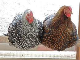 Chickens For Eggs In Backyard Whats The Best Chickens For Eggs Backyard Chickens