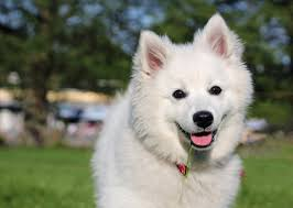 american eskimo dog calendar american eskimo dog pictures wallpapers9