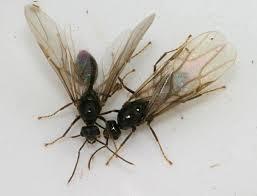 Ants In Backyard Winged Brown Ants The Backyard Arthropod Project